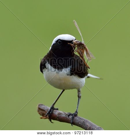 The pied wheatear (Oenanthe pleschanka) in natural habitat - male