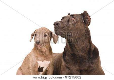 Portrait of a dog and puppy pitbull together