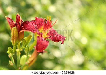 Red day lilies or Hemerocallis on green background