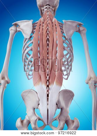medically accurate illustration of the deep back muscles