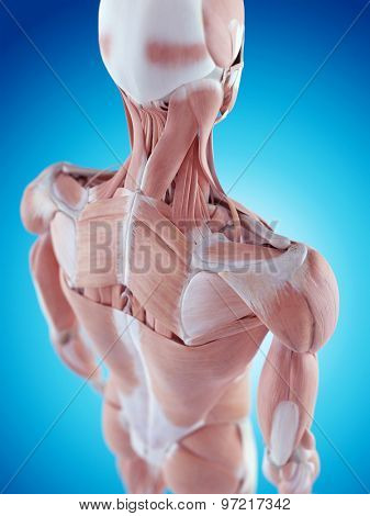 medically accurate illustration of the shoulder anatomy