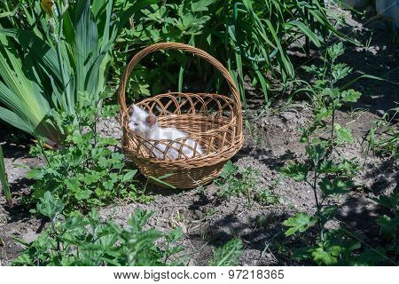 White Kitten In The Basket