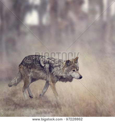 Wolf Walking In The Woods