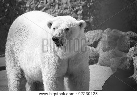 Big Polar Bear In Monochrome Tones