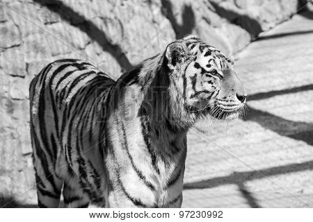Monochrome Tone Tiger Stand And Looks Aside