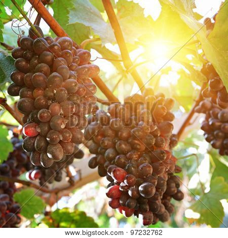 ripe grapes in the sun