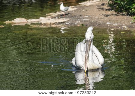Pelican With A Long Beak Floats On Water Forward