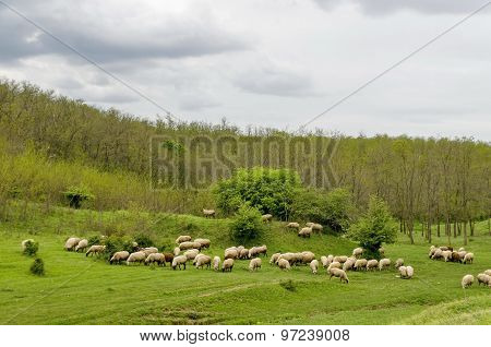 Background of sky, clouds, field, acacia forest and  flock sheep
