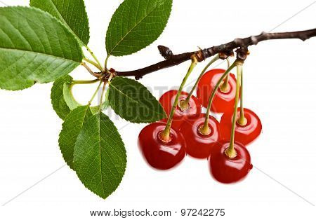 Close Up Of Red Cherry Branch