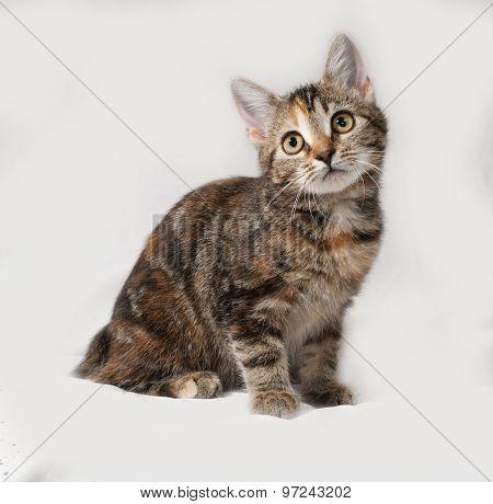 Tricolor Kitten Sitting On Gray