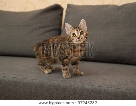 Tricolor Kitten Standing On Couch