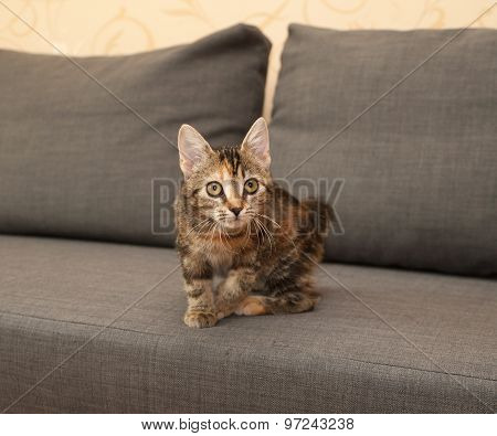 Tricolor Kitten Sitting On Couch