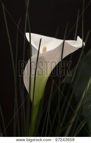 White Calla Lili In Front Of Black Background Macro Detail