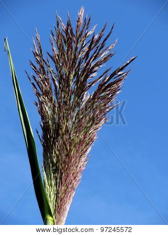 Flower Of Giant Reed Plant
