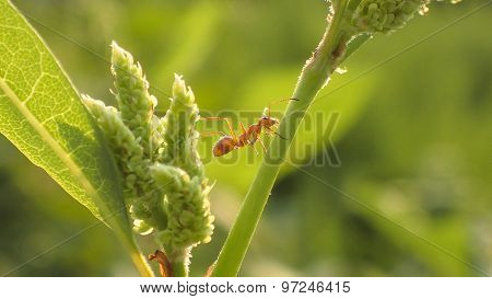 Red Ant Climbing Between Green Watercress Stems.
