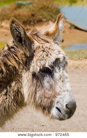 Donkey Headshot