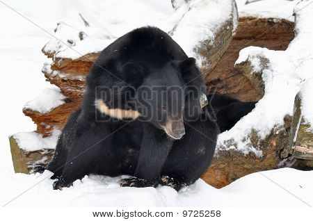 Asian black bear in front of lair