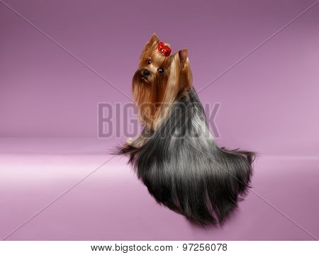 Yorkshire Terrier Dog With Long Groomed Hair Sits On Purpure