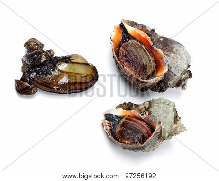Two Veined Rapa Whelk And River Mussel (anodonta)