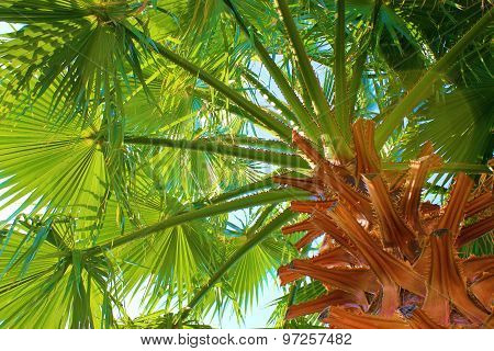 Native California Palm