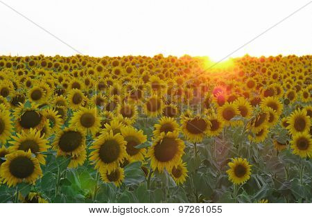 field  sunflowers on a background sunset