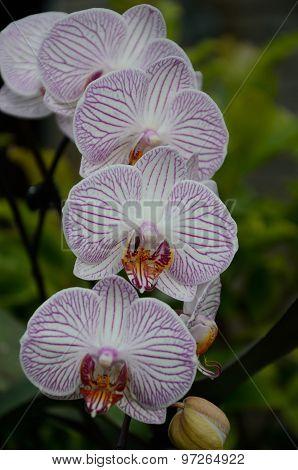 Danish Orchide