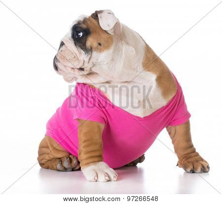 female puppy wearing pink sweater - bulldog