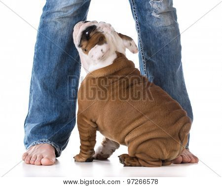 woman's legs with puppy looking up - bulldog