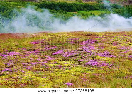 Summer Iceland. Earth smokes underground heat. Blooming on the lawn moss