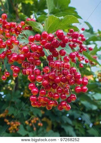 Branch Of Red Viburnum Close-up. Berries And Gardens