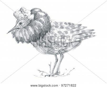 Pencil Drawing - Bird, Ruff Bird