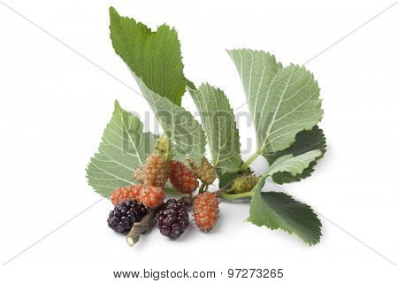 Fresh twig with mulberries on white background