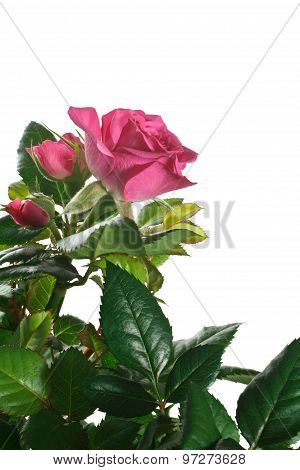 rose flower and rosebuds on white background