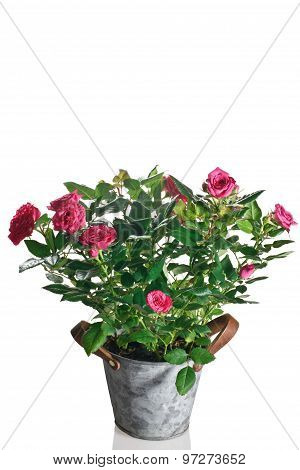 rose plant in pot on a white background