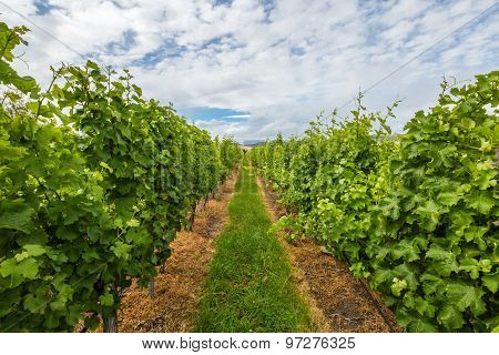 Vineyard Rows