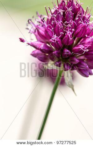 Drumstick Allium Flower Bloom