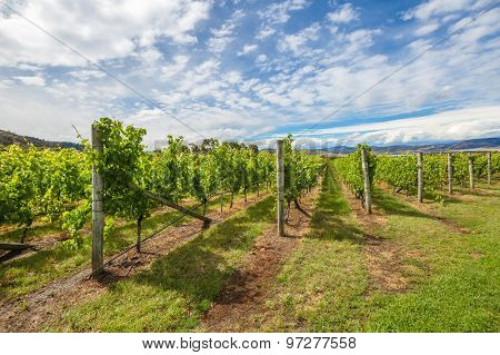 Australian vineyards