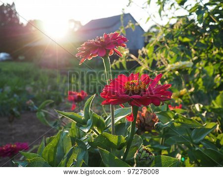 red flowers with a sunburst over a barn
