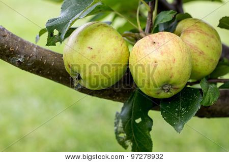 A Closeup Of Green And Yellow Apples