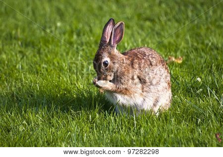 Rabbit grooming in grass
