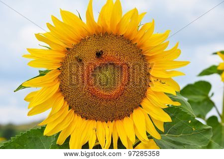 Sunflower with Bees with Face
