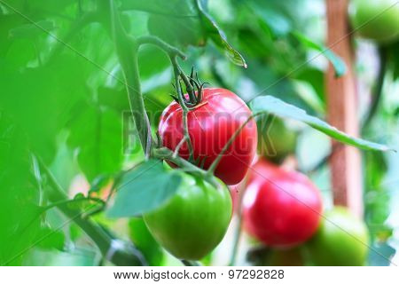 Ripe red tomatoes on plant (selective focus, shallow depth of field)