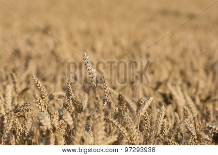 Cornfield with ripe wheat