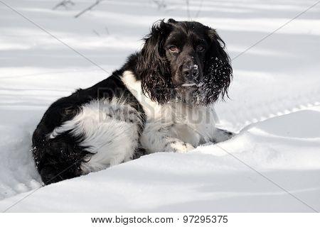 Hunting Dog Walk On A Winter
