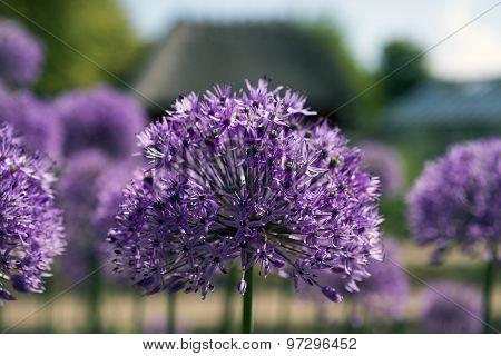 Closeup Purple Flowers