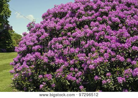 Purple Rhododendron In Park