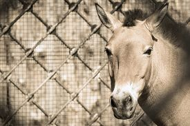 foto of big horse  - front of the big muzzle or head of a horse of beige color in full - JPG