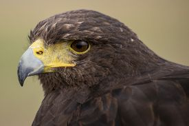 pic of hawk  - A Harris hawk is the only hawk known to hunt in packs which makes it ideal for falconry or hawkery - JPG