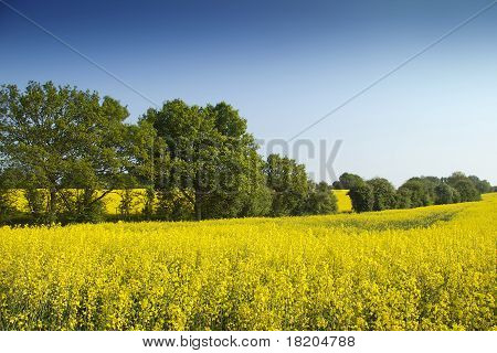 Yellow field blue sky