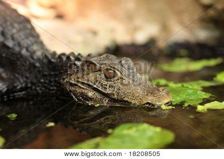Crocodile In Aquarium